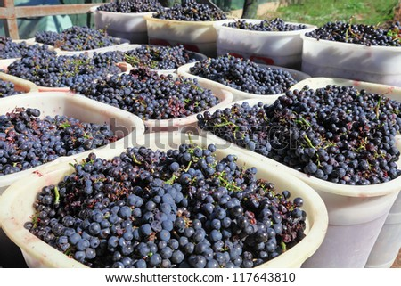 wine grapes on basket in chianti vineyard. Tuscany, Italy. - stock photo