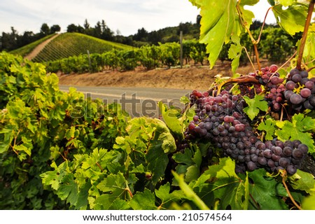Wine grapes on the vine in a vineyard - stock photo