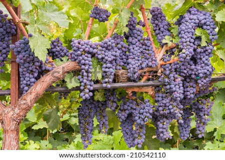 Wine Grapes on the Vine Ready for Harvesting - stock photo