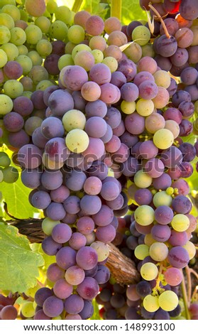 Wine Grapes Ripening - stock photo