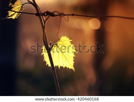 Wine leaves in sunlight - stock photo