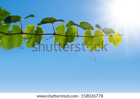 Wine Sky Leafs Plant Detail  - stock photo