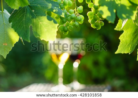 wine with grapes growing on the vineyard  - stock photo