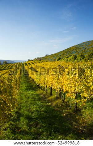wine yard with yellow leaves after harvest