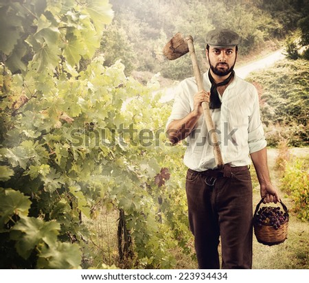Winegrower while harvest grapes in the vineyard. - stock photo