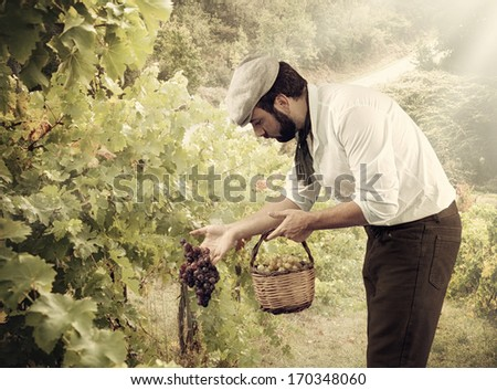 Winegrower while harvesting grapes in the vineyard - stock photo