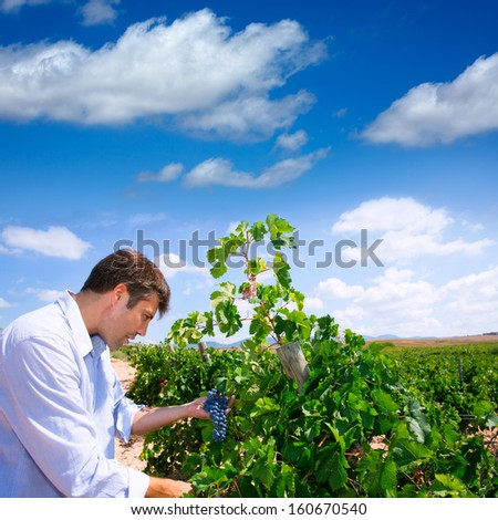 Winemaker oenologist checking Tempranillo wine grapes ready for harvest in Mediterranean - stock photo