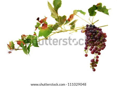 wines with clusters of grapes - stock photo