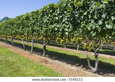 Wineyard - stock photo