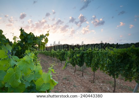 Wineyard in region of Provence in south France in summer 2013 - stock photo