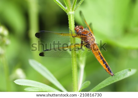 Wing - female top spot - stock photo
