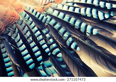 wing of Jay (Garrulus glandarius) close up