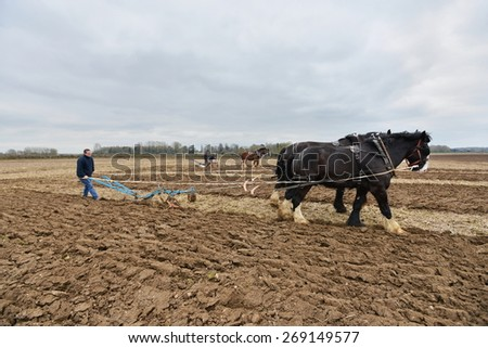 WINGFIELD - APR 4: Draught horses pull a plough through a field on Apr 4, 2015 in Wingfield, UK. Draught horses were traditional used to ploughing before large scale mechanisation of farming.