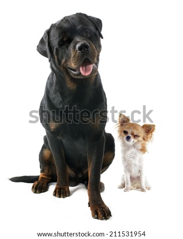 wink of chihuahua and rottweiler in front of white background