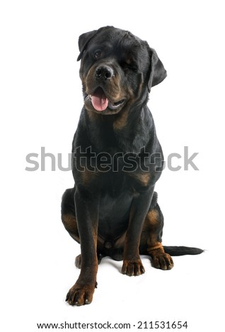 wink of rottweiler in front of white background