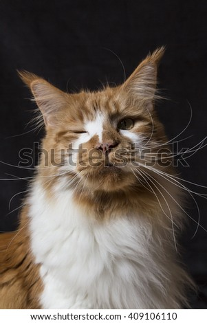 Winking Maine Coon cat on black background. Red and white cat. Wink. blinking cat - stock photo
