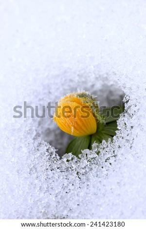 Winter Aconite, lat. Eranthis hyemalis in snow - stock photo