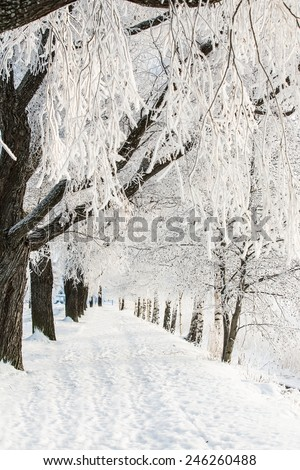 Winter alley with snow covered trees. Frost covers the branches of trees. - stock photo