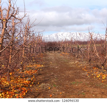 Winter apple orchard at the bottom of the snow-covered mountain of Hermon in the north of Israel - stock photo
