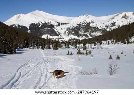 Winter at Mayflower Gulch near Copper Mountain, Colorado - basset hound hikes on a snowshoe trail