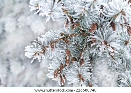 Winter background. A coniferous tree in hoarfrost and snow  - stock photo