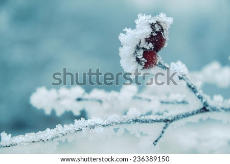 Winter background, red berries on the frozen branches covered with hoarfrost. - stock photo