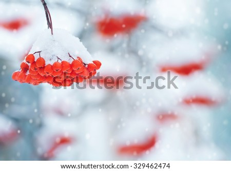 Winter background with a cluster of a snow-covered red mountain ash - stock photo