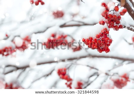 Winter background with a snow-covered mountain ash - stock photo