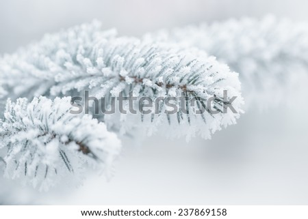 winter background with frosty fir branches, copy space on the left