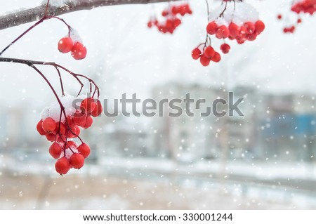 Winter background with snow-covered clusters of a mountain ash - stock photo