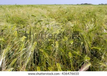 Winter barley yellow field before full maturation. - stock photo