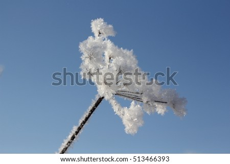 Winter. Beautiful plant with hoarfrost against the blue sky . Seasons