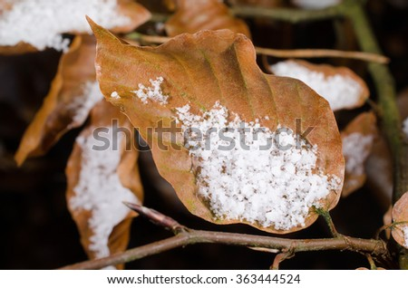 winter, beech leaf with snow - stock photo