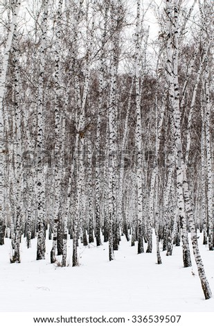 Winter birch forest background