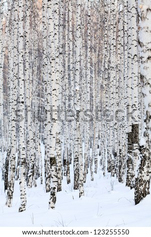 Winter birch forest. January
