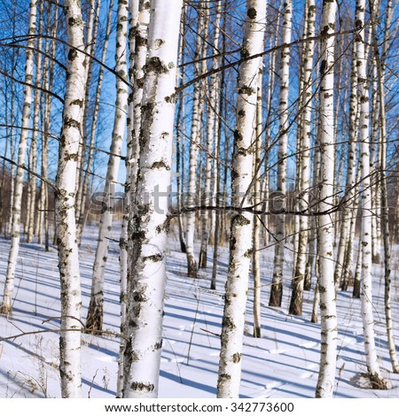 Winter birch grove in Russian forest - stock photo