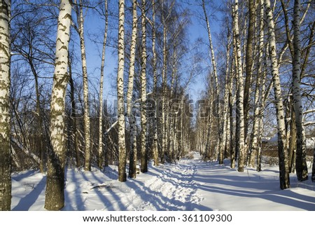 Winter birch grove with alley in sunny day.