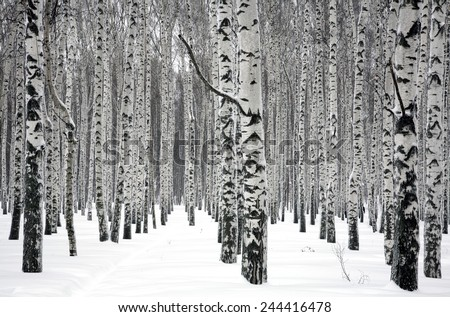 Winter birch trees - stock photo