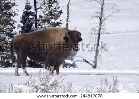 Winter Bison in Yellowstone National Park - stock photo
