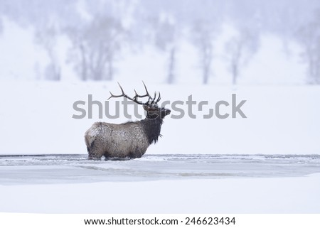 Winter bull elk standing in frozen lamar river, Yellowstone National Park - stock photo