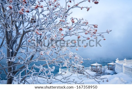 Winter. Christmas. Snow covered rowanberry tree (lat. Sorbus) - stock photo