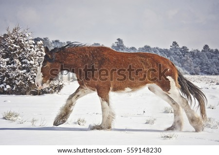 clydesdale stock images royaltyfree images amp vectors