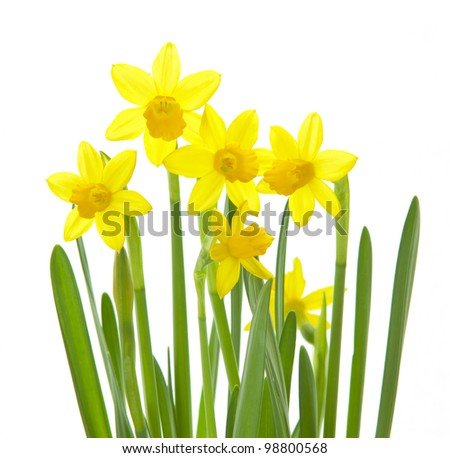 winter daffodils isolated on white - stock photo