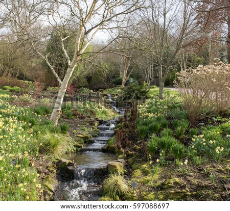 Winter Daffodils (Narcissus) by a Gently Flowing Stream with a Stone Footbridge in the Background in the Bog Garden at Rosemoor in Rural Devon, England, UK