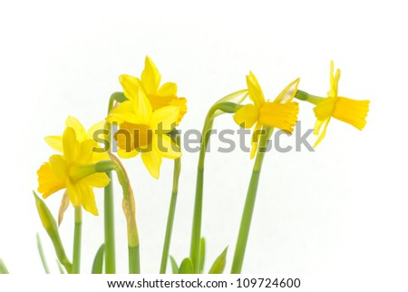 winter daffodils, white background