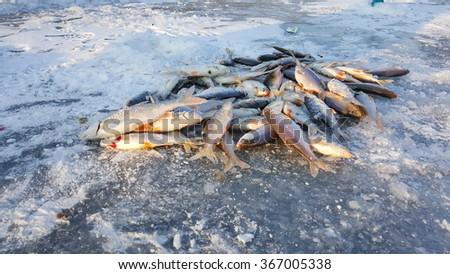 Winter fishing. Fish on ice. Freshly caught fish on ice. ice Fishing - stock photo