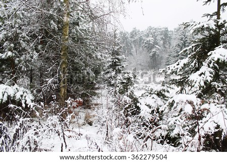 winter forest and snow - stock photo