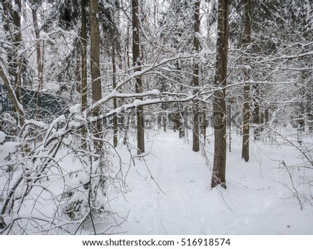Winter forest and snow on trees. Eastern Europe nature
