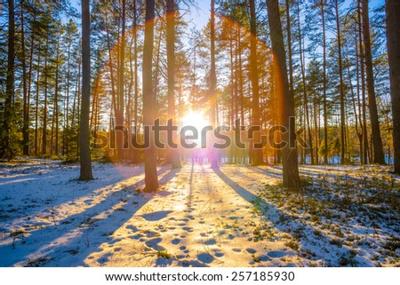 winter forest and the sun - stock photo