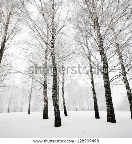 winter forest . birches - stock photo